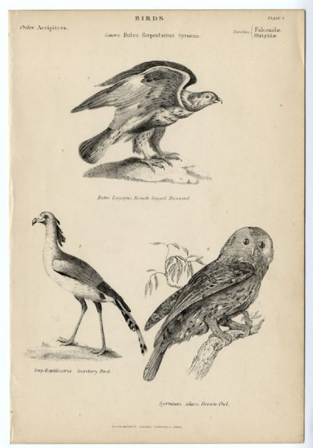 1864 BIRDS Brown Owl; Buzzard; Secretary Bird; PRINT FROM ENGRAVING